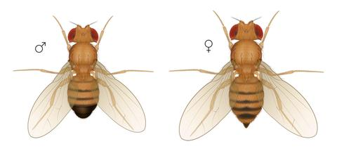 male and female fruit flies